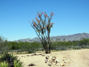 The Ocotillo is in full bloom