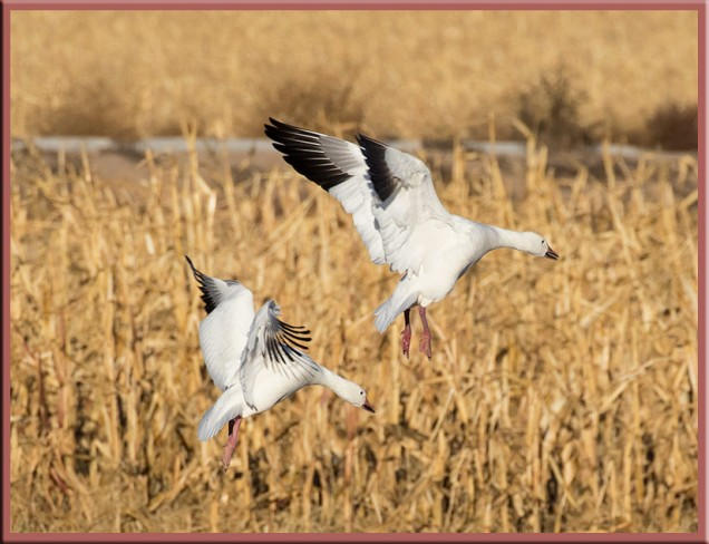 two-snow-geese-in-flight2