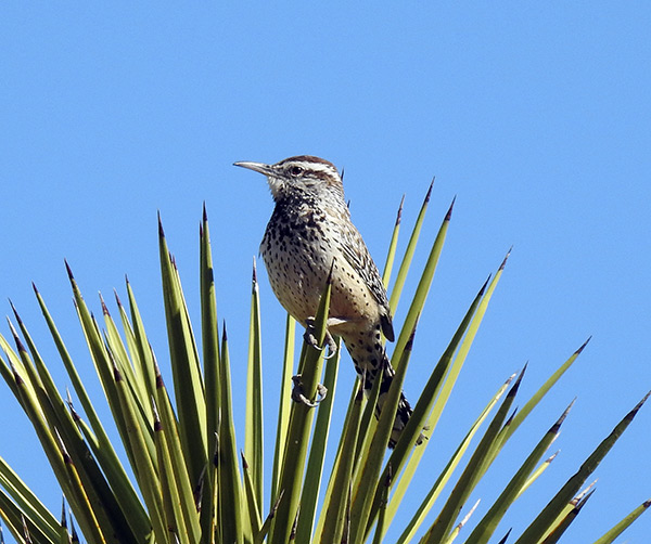 Cactus-Wren-Black-Rock-Canyon