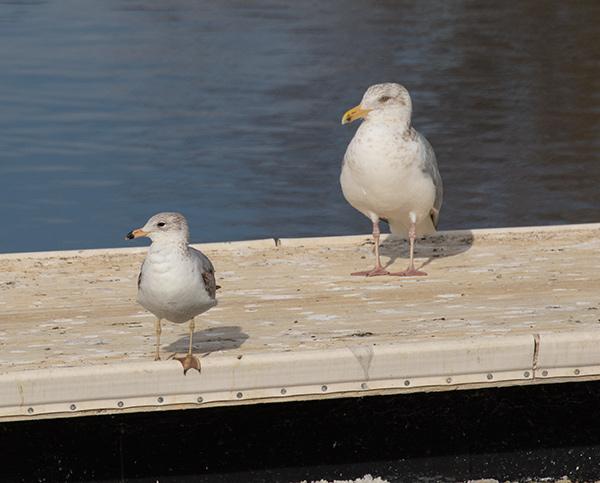 Ring-billed and Herring Gull